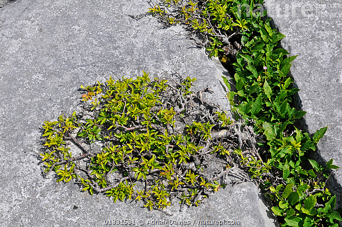Blackthorn (Prunus spinosa) growing from gryke in limestone pavement. The Burren, County Clare, Ireland, June  ,  BURREN ,CLINT,DICOTYLEDONS,EUROPE,GRYKE,IRELAND,LIMESTONE,PAVEMENT,PLANTS,ROCKS,ROSACEAE,SLOE  ,  Adrian Davies