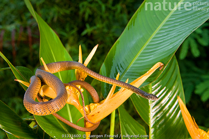 Common tree snake (Dendrelaphis punctulata) on a yellow Heliconia flower. Queensland, Australia, February  ,  AUSTRALASIA,AUSTRALIA,BROWN,coiled,coils,COLUBRIDS,FLOWERS,LEAVES,REPTILES,resting,SNAKES,VERTEBRATES,YELLOW  ,  Jurgen Freund