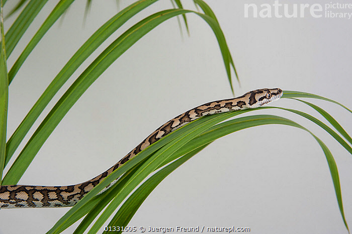 Young Coastal Carpet Python (Morelia spilota mcdowelli) moving over vegetation, Queensland, Australia  ,  AUSTRALASIA,AUSTRALIA,BABIES,BEHAVIOUR,CUTOUT,MOVEMENT,PYTHONIDAE,PYTHONS,REPTILES,Snake,SNAKES,VERTEBRATES,YOUNG  ,  Jurgen Freund