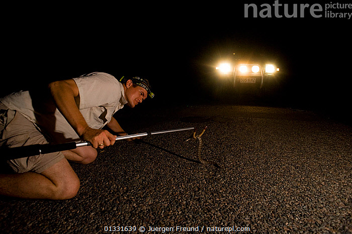 Researcher Guido Westhoff catching a highly venomous Common death adder (Acanthophis antarcticus) found 10 minutes into his group's evening road collection. The death adder ranks 9th out of the top 10 most venomous snakes in the world. Queensland, Australia, February 2008  ,  AUSTRALASIA,AUSTRALIA,collecting,DANGEROUS,DEATH ADDERS,kneeling,LIGHTS,MEN,NIGHT,PEOPLE,POISONOUS,REPTILES,RESEARCH,ROADS,SCIENCE,scientist,scientists,SNAKES,VEHICLES,Venomous,VERTEBRATES  ,  Jurgen Freund