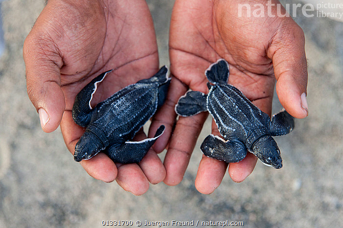 Baby Leatherback turtles (Dermochelys coriacea) in WWF Sorong Staff Eki's hands. Warmamedi beach, Bird's Head Peninsula, West Papua, Indonesia, July 2009  ,  ASIA,BABIES,CHELONIA,CONSERVATION,coral triangle,ENDANGERED,ENVIRONMENTAL,HANDS,hatchlings,holding,INDONESIA,Irian Jaya,MARINE,PEOPLE,REPTILES,SEA TURTLES,SMALL,SOUTH EAST ASIA,submission,TURTLES,two,,YOUNG,SOUTH-EAST-ASIA,NEW-GUINEA,SIZE  ,  Jurgen Freund
