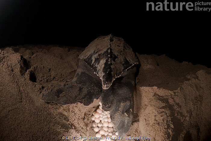 Leatherback turtle (Dermochelys coriacea) female laying her clutch of eggs. Warmamedi beach, Bird's Head Peninsula, West Papua, Indonesia, July 2009  ,  ASIA,BEACHES,CHELONIA,CONSERVATION,coral triangle,EGGLAYING,EGGS,ENDANGERED,FEMALES,INDONESIA,Irian Jaya,MARINE,nesting behaviour,NIGHT,Rear view,REPTILES,SEA TURTLES,SOUTH EAST ASIA,submission,TURTLES,,SOUTH-EAST-ASIA,NEW-GUINEA  ,  Jurgen Freund