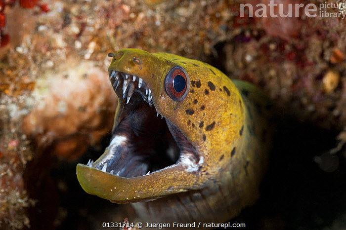 RF- Spot-face / Fimbriated moray eel (Gymnothorax fimbriatus) peering out of a hole in the reef. Lembeh Strait, Sulawesi, Indonesia. (This image may be licensed either as rights managed or royalty free.)  ,  COASTAL-WATERS,coral triangle,CORAL-REEFS,EELS,FISH,HEADS,holes,INDO-PACIFIC,MARINE,MOUTHS,OSTEICHTHYES,PORTRAITS,SOUTH-EAST-ASIA,SPOTTED,submission,TEETH,TROPICAL,UNDERWATER,VERTEBRATES,WWF,GYMNOTHORAX FIMBRIATUS,Animal,Vertebrate,Ray-finned fish,Eel,Moray eel,Honeycomb moray eel,Fimbriated moray eel,Animalia,Animal,Wildlife,Vertebrate,Actinopterygii,Ray-finned fish,Osteichthyes,Bony fish,Fish,Anguilliformes,Eel,Muraenidae,Moray eel,Gymnothorax,Gymnothorax favagineus,Honeycomb moray eel,Black-blotched moray,Giraffe eel,Laced moray,Reticulated moray,Black blotched moray,Coral eel,Tesselated moray eel,Gymnothorax permistus,Muraena tessellata,Enchelycore favagineus,Gymnothorax fimbriatus,Fimbriated moray eel,Darkspotted moray,Spot face moray,Thyrsoidea bullata,Muraena fimbriata,Gymnothorax fimbriata,Fear,Colour,Yellow,Nobody,Ugly,Ugliness,Pattern,Spotted,Asia,South East Asia,Indonesia,Close Up,Mouth,Reef,Reefs,Hole,Marine,Underwater,Water,Saltwater,Biodiversity hotspot,Sulawesi,Wallacea,Dental hygiene,Sealife,Open Mouth,Lembeh Strait,Leopard moray,Lembeh,RF,Royalty free,RFCAT1,RF17Q1,Marine  ,  Jurgen Freund