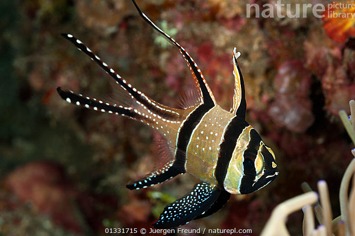Banggai cardinalfish (Pterapogon kauderni). Lembeh Strait, Sulawesi, Indonesia  ,  BLACK,CARDINALFISH,COASTAL WATERS,coral triangle,CORAL REEFS,FISH,INDO PACIFIC,MARINE,OSTEICHTHYES,PORTRAITS,SOUTH EAST ASIA,STRIPED,submission,TROPICAL,UNDERWATER,VERTEBRATES,WHITE,,SOUTH-EAST-ASIA,Asia,INDONESIA  ,  Jurgen Freund