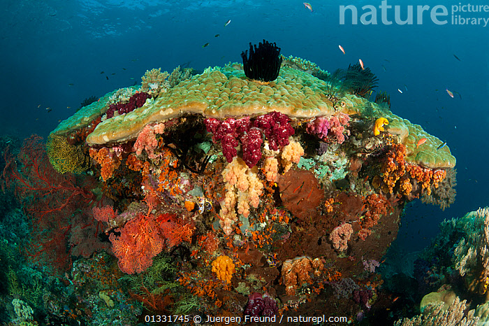 Colorful coral reef with soft corals (Alcyonacea) and fan corals (Gorgonacea). Misool, Raja Ampat, West Papua, Indonesia, January  ,  ANTHOZOANS,BROWN,CNIDARIANS,COASTAL WATERS,COLOURFUL,coral triangle,CORAL REEFS,CORALS,FISH,INDONESIA,INDO PACIFIC,INVERTEBRATES,Irian Jaya,MARINE,MIXED SPECIES,ORANGE,PINK,SEA FANS,SOFT CORALS,SOUTH EAST ASIA,submission,TROPICAL,UNDERWATER,WHITE,,Asia,Cnidaria,SOUTH-EAST-ASIA,NEW-GUINEA  ,  Jurgen Freund