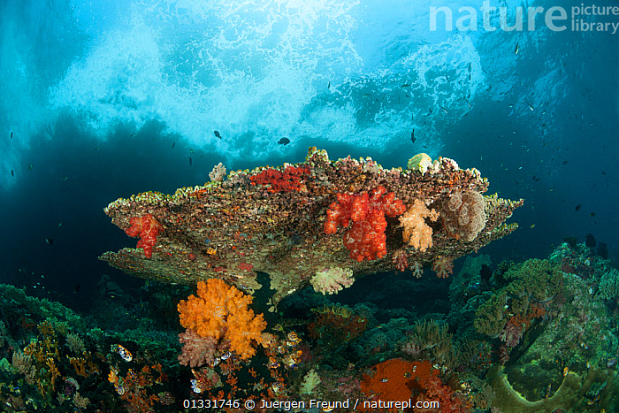 Colorful coral reef with soft corals (Alcyonacea) and fan corals (Gorgonacea). Misool, Raja Ampat, West Papua, Indonesia, January  ,  ANTHOZOANS,catalogue4G,close up,CNIDARIANS,COASTAL WATERS,COLOURFUL,coral reef,coral triangle,CORAL REEFS,CORALS,fan coral,FISH,GORGONACEA,GROWTH,hues,INDONESIA,INDO PACIFIC,INVERTEBRATES,Irian Jaya,LANDSCAPES,MARINE,Misool,MIXED SPECIES,nature,Nobody,ORANGE,PINK,Raja Ampat,reff,rock formation,SEA FANS,SEALIFE,shades of colour,SOFT CORALS,SOUTH EAST ASIA,submission,TROPICAL,UNDERWATER,WATER,WAVES,WEST PAPUA,WWF,Concepts,SOUTH-EAST-ASIA,Asia,NEW-GUINEA,Cnidaria  ,  Jurgen Freund