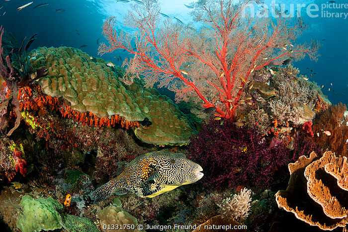 Giant / Star pufferfish (Arothron stellatus) at coral reef, Misool, Raja Ampat, West Papua, Indonesia, January  ,  COASTAL WATERS,coral triangle,CORAL REEFS,CORALS,FISH,HABITAT,INDONESIA,INDO PACIFIC,Irian Jaya,LANDSCAPES,MARINE,OSTEICHTHYES,PUFFERFISH,SOUTH EAST ASIA,TROPICAL,UNDERWATER,VERTEBRATES,,SOUTH-EAST-ASIA,Asia,NEW-GUINEA  ,  Jurgen Freund