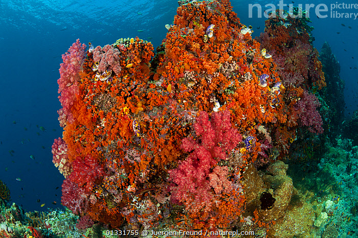 Collection of pink and orange soft corals (Alcyonaceae). Misool, Raja Ampat, West Papua, Indonesia, January  ,  ANTHOZOANS,CNIDARIANS,COASTAL WATERS,COLOURFUL,coral triangle,CORAL REEFS,CORALS,INDONESIA,INDO PACIFIC,INVERTEBRATES,Irian Jaya,MARINE,MIXED SPECIES,ORANGE,PINK,SOFT CORALS,SOUTH EAST ASIA,submission,TROPICAL,UNDERWATER,,SOUTH-EAST-ASIA,Asia,NEW-GUINEA,Cnidaria  ,  Jurgen Freund