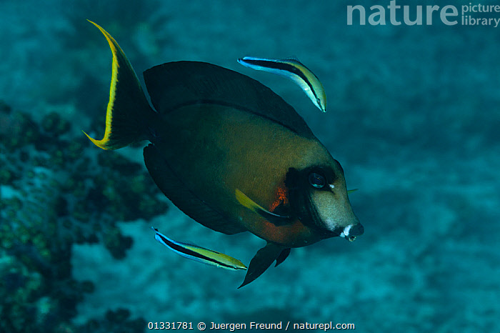 Mimic surgeonfish (Acanthurus pyroferus) being cleaned by Cleaner wrasse (Labroides dimidiatus). Misool, Raja Ampat, West Papua, Indonesia  ,  ACANTHURIDAE,BEHAVIOUR,cleaning,cleaning station,COASTAL WATERS,coral triangle,CORAL REEFS,FISH,INDONESIA,INDO PACIFIC,Irian Jaya,MARINE,MIXED SPECIES,mutualism,OSTEICHTHYES,SOUTH EAST ASIA,SURGEONFISH,SYMBIOSIS,TROPICAL,UNDERWATER,VERTEBRATES,,SOUTH-EAST-ASIA,Asia,NEW-GUINEA,Concepts,Partnership  ,  Jurgen Freund