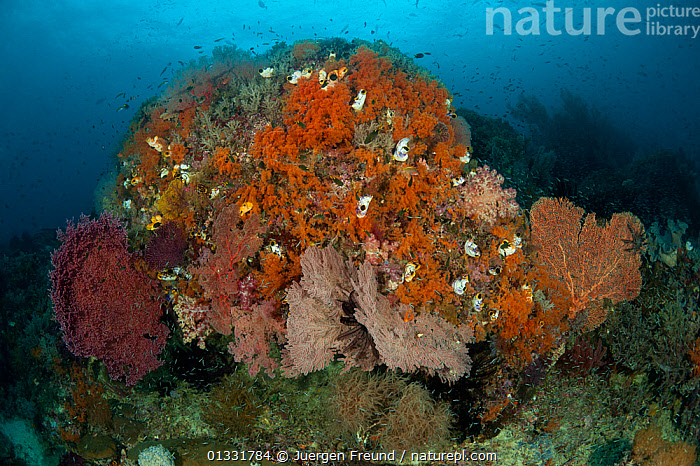 Fan corals, soft corals and tunicates on coarl reef. Misool, Raja Ampat, West Papua, Indonesia, January  ,  COASTAL WATERS,coral triangle,CORAL REEFS,INDONESIA,INDO PACIFIC,INVERTEBRATES,Irian Jaya,LANDSCAPES,MARINE,SEA FANS,sea squirts,SOUTH EAST ASIA,TROPICAL,TUNICATA,TUNICATES,UNDERWATER,,SOUTH-EAST-ASIA,Asia,NEW-GUINEA,Anthozoans,Cnidaria  ,  Jurgen Freund