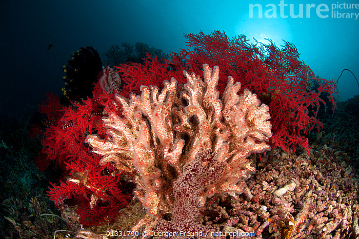 Feather duster / Coral worms (Filograna implexa) in the reef. Misool, Raja Ampat, West Papua, Indonesia  ,  BRISTLEWORMS,COASTAL WATERS,coral triangle,CORAL REEFS,CORALS,FANWORMS,INDONESIA,INDO PACIFIC,INVERTEBRATES,Irian Jaya,MARINE,POLYCHAETES,RED,SOUTH EAST ASIA,TROPICAL,TUBE WORMS,UNDERWATER,,SOUTH-EAST-ASIA,Asia,NEW-GUINEA,Annelids  ,  Jurgen Freund