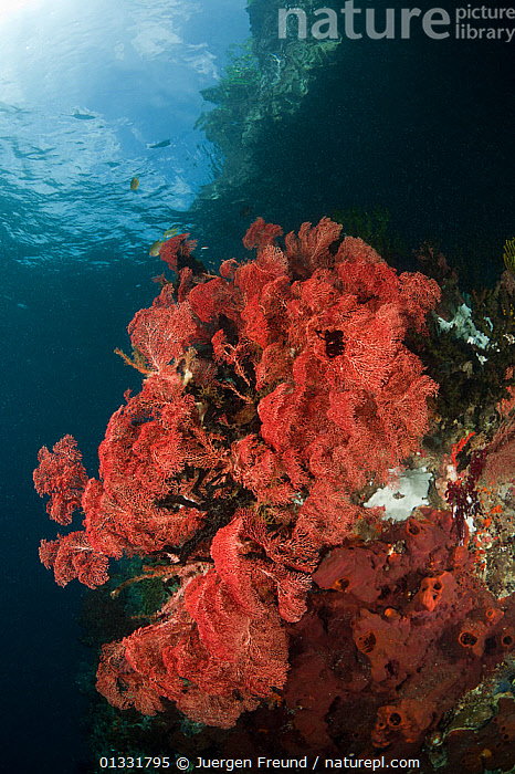 Pink Fan coral (Gorgonacea) in the reef shallows. Misool, Raja Ampat, West Papua, Indonesia, January  ,  ANTHOZOANS,CNIDARIANS,COASTAL WATERS,coral triangle,CORAL REEFS,CORALS,INDONESIA,INDO PACIFIC,INVERTEBRATES,Irian Jaya,MARINE,PINK,SEA FANS,SEA WHIPS,SOUTH EAST ASIA,TROPICAL,UNDERWATER,VERTICAL,,SOUTH-EAST-ASIA,Asia,NEW-GUINEA  ,  Jurgen Freund