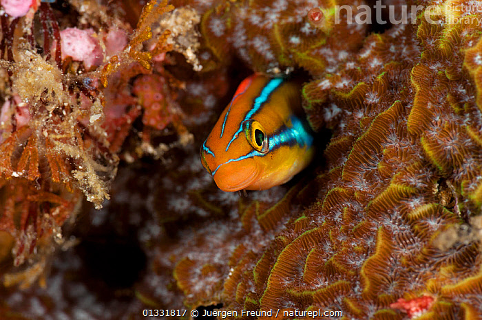 Blue-lined fangblenny / Bluestriped sabretooth blenny (Plagiotremus rhinorhynchos) in its hole. North Raja Ampat, West Papua, Indonesia  ,  BLENNIES,BLUE,CLOSE UPS,COASTAL WATERS,coral triangle,CORAL REEFS,FISH,HEADS,hiding,INDONESIA,INDO PACIFIC,Irian Jaya,MARINE,ORANGE,OSTEICHTHYES,SMALL,SOUTH EAST ASIA,STRIPED,TROPICAL,UNDERWATER,VERTEBRATES,,SOUTH-EAST-ASIA,Asia,NEW-GUINEA,SIZE  ,  Jurgen Freund