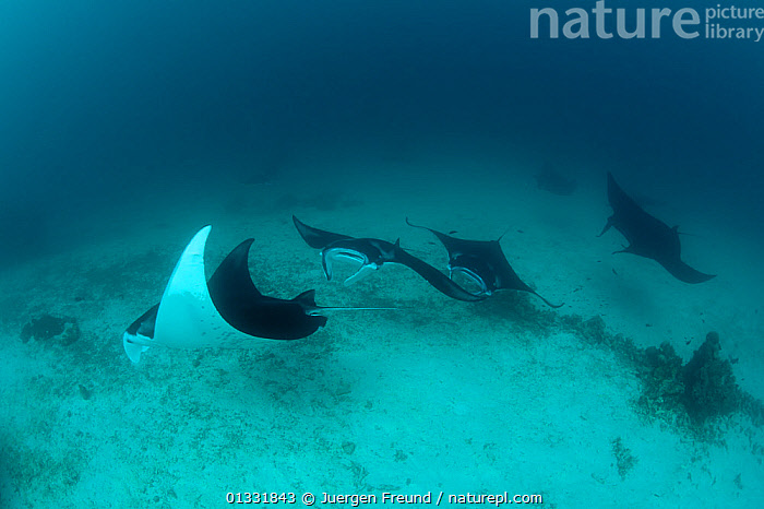 A parade of Giant manta rays (Manta birostris) at a cleaning station. North Raja Ampat, West Papua, Indonesia, February  ,  BLACK,CHONDRICHTHYES,COASTAL WATERS,coral triangle,FISH,FOUR,GROUPS,INDONESIA,INDO PACIFIC,Irian Jaya,MARINE,RAYS,Shallow,SOUTH EAST ASIA,SWIMMING,TROPICAL,UNDERWATER,VERTEBRATES,WHITE,,SOUTH-EAST-ASIA,Asia,NEW-GUINEA  ,  Jurgen Freund