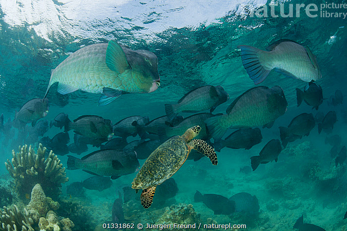 Large schooling Bumphead parrotfish (Bolbometopon muricatum) with a passing Hawksbill turtle (Eretmochelys imbricata). Sipadan Island, Sabah, Malaysia  ,  catalogue4G,COASTAL WATERS,coral triangle,CORAL REEFS,CORALS,Eretmochelys imbricata,FISH,GROUPS,Hawksbill turtle,INDO PACIFIC,LARGE,large group,large group of animals,Malaysia,MARINE,mixed species,Nobody,on the move,OSTEICHTHYES,PARROTFISH,sabah,school,schools,SEALIFE,SEA TURTLES,SHOAL,shoals,Sipadan Island,SOUTH EAST ASIA,SWIMMING,TROPICAL,UNDERWATER,VERTEBRATES,WILDLIFE,WWF,SIZE ,SOUTH-EAST-ASIA,Asia  ,  Jurgen Freund