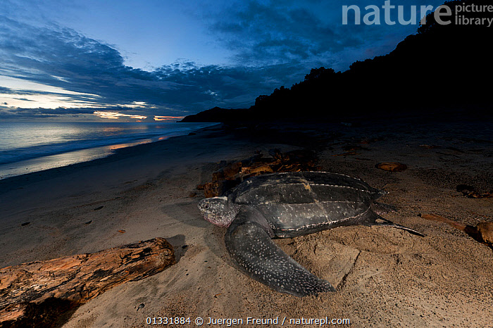 Leatherback turtle (Dermochelys coriacea) female nesting on the beach. Warmamedi beach, Bird's Head Peninsula, West Papua, Indonesia, July 2009.  ,  BEACHES,CHELONIA,COASTS,coral triangle,DUSK,EGGLAYING,ENDANGERED,FEMALES,INDONESIA,INDO PACIFIC,Irian Jaya,MARINE,nesting behaviour,NIGHT,REPTILES,sand,SEA TURTLES,SOUTH EAST ASIA,SUNSET,TROPICAL,TURTLES,,SOUTH-EAST-ASIA,Asia,NEW-GUINEA  ,  Jurgen Freund