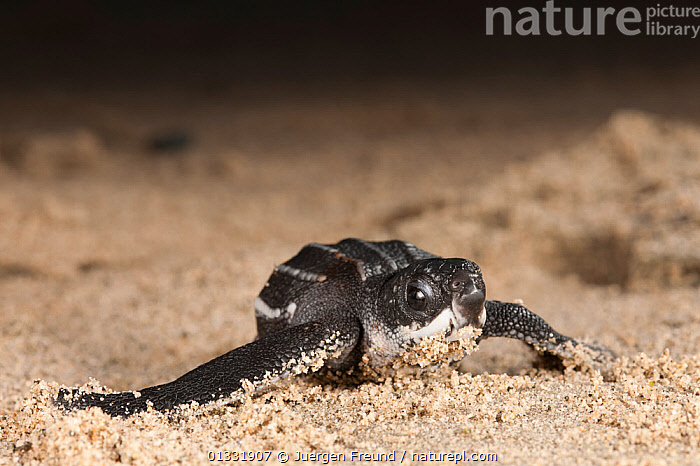 Leatherback turtle (Dermochelys coriacea) baby. Warmamedi beach, Bird's Head Peninsula, West Papua, Indonesia, July 2009.  ,  BABIES,BEACHES,CHELONIA,coral triangle,ENDANGERED,Hatchling,hatchlings,INDONESIA,INDO PACIFIC,Irian Jaya,MARINE,NIGHT,one,REPTILES,sand,SEA TURTLES,SMALL,SOUTH EAST ASIA,TROPICAL,TURTLES,,SOUTH-EAST-ASIA,Asia,NEW-GUINEA,SIZE  ,  Jurgen Freund