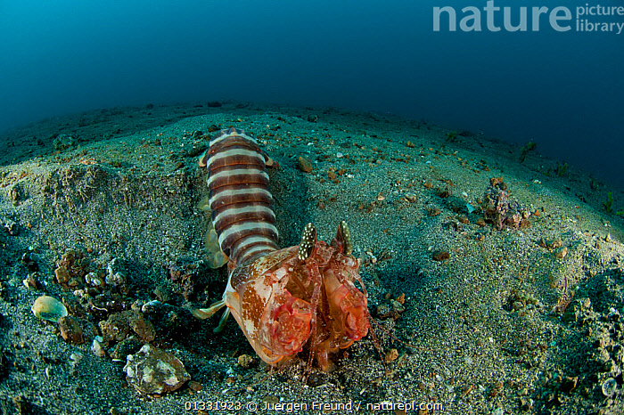 Giant mantis shrimp (Lysiosquilla sp) out of its burrow. Lembeh Strait, North Sulawesi, Indonesia.  ,  ARTHROPODS,COASTAL WATERS,coral triangle,CORAL REEFS,CRUSTACEANS,EYES,INDO PACIFIC,INVERTEBRATES,MANTIS SHRIMPS,MARINE,PORTRAITS,SOUTH EAST ASIA,STRIPED,TROPICAL,UNDERWATER,,SOUTH-EAST-ASIA,Asia  ,  Jurgen Freund