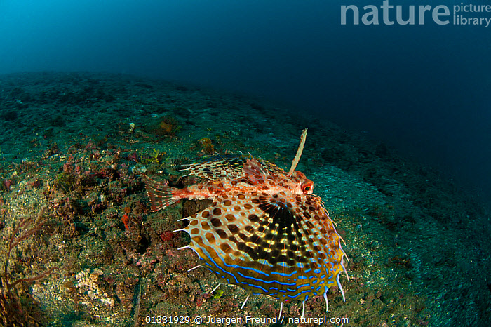 Oriental flying gurnard (Dactyloptena orientalis) gliding above the sea bed. Lembeh Strait, North Sulawesi, Indonesia.  ,  COASTAL WATERS,coral triangle,CORAL REEFS,FINS,FISH,gunards,INDO PACIFIC,MARINE,OSTEICHTHYES,SOUTH EAST ASIA,SPOTTED,SWIMMING,TROPICAL,UNDERWATER,VERTEBRATES,,SOUTH-EAST-ASIA,Asia  ,  Jurgen Freund