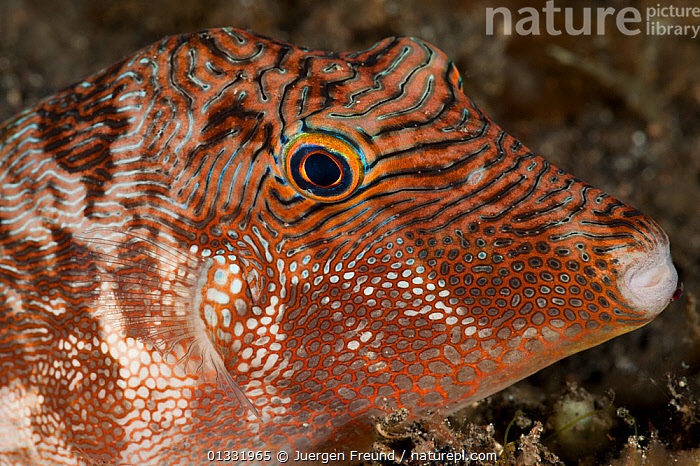 Toby pufferfish (Canthigaster sp.), close-up of the head. Lembeh Strait, North Sulawesi, Indonesia.  ,  CLOSE UPS,COASTAL WATERS,coral triangle,FISH,HEADS,INDO PACIFIC,MARINE,ORANGE,OSTEICHTHYES,patterned,PORTRAITS,PUFFERFISH,SOUTH EAST ASIA,SPOTTED,STRIPED,TROPICAL,UNDERWATER,VERTEBRATES,,SOUTH-EAST-ASIA,Asia  ,  Jurgen Freund