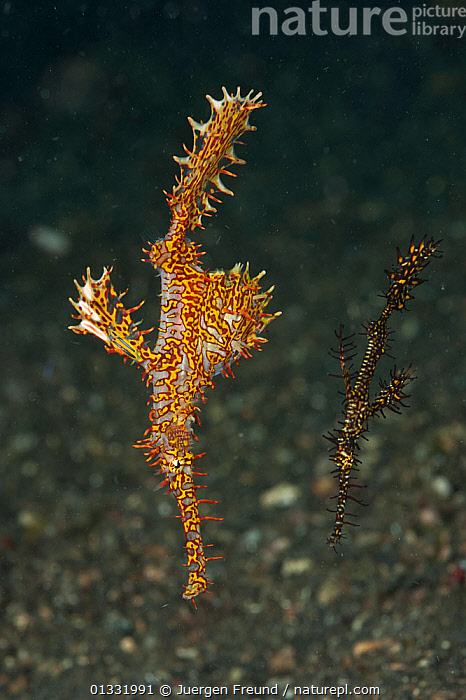 Two Ornate ghost pipefish (Solenostomus paradoxus) on the sandy bottom. Lembeh Strait, North Sulawesi, Indonesia.  ,  COASTAL WATERS,COLOURFUL,CORAL TRIANGLE,CORAL REEFS,FISH,INDO PACIFIC,LARGE,MARINE,OSTEICHTHYES,PIPEFISH,SMALL,SOUTH EAST ASIA,TROPICAL,UNDERWATER,VERTEBRATES,VERTICAL,,SOUTH-EAST-ASIA,Asia,SIZE  ,  Jurgen Freund