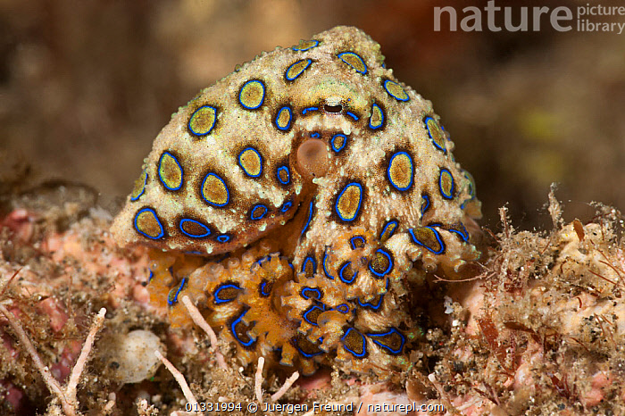 Tropical blue-ringed octopus (Hapalochlaena lunulata) hunting on the coral. Lembeh Strait, North Sulawesi, Indonesia.  ,  BLUE,CEPHALOPODS,COASTAL WATERS,COLOURFUL,CORAL TRIANGLE,CORAL REEFS,HUNTING,INDO PACIFIC,INVERTEBRATES,MARINE,MOLLUSCS,OCTOPUS,PATTERNS,SOUTH EAST ASIA,SPOTS,SPOTTED,TROPICAL,UNDERWATER,,SOUTH-EAST-ASIA,Asia  ,  Jurgen Freund
