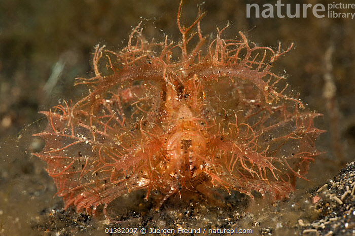 Ambon scorpionfish (Pteroidichthys amboinensis). Lembeh Strait, North Sulawesi, Indonesia.  ,  CAMOUFLAGE,COASTAL WATERS,CORAL TRIANGLE,CORAL REEFS,FACES,FISH,INDO PACIFIC,MARINE,OSTEICHTHYES,PORTRAITS,SCORPIONFISH,SOUTH EAST ASIA,TROPICAL,UGLY,UNDERWATER,VERTEBRATES,WEIRD,,SOUTH-EAST-ASIA,Asia  ,  Jurgen Freund