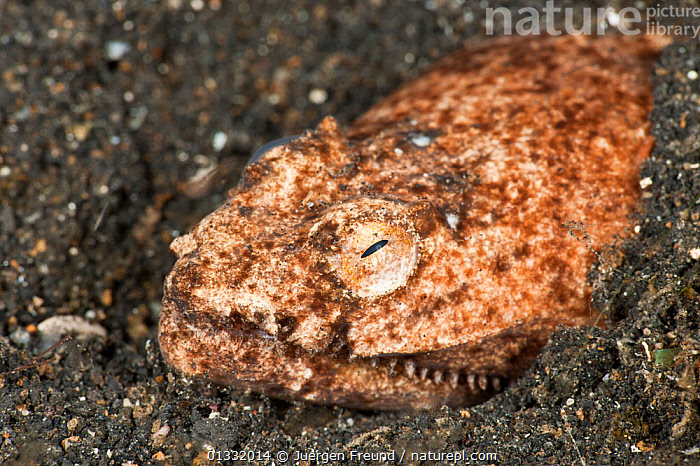 Stargazer / Crocodile snake eel (Brachysomophis cirrocheilos) looking out of its hole. Lembeh Strait, North Sulawesi, Indonesia.  ,  COASTAL WATERS,CORAL TRIANGLE,CORAL REEFS,EELS,EMERGING,EYES,FACES,FISH,HEADS,HOLES,INDO PACIFIC,MARINE,OSTEICHTHYES,PORTRAITS,SOUTH EAST ASIA,TEETH,TROPICAL,UNDERWATER,VERTEBRATES,,SOUTH-EAST-ASIA,Asia,Snakes  ,  Jurgen Freund