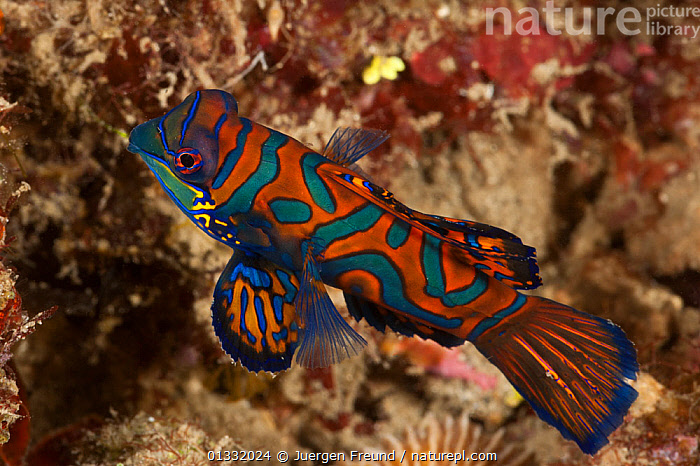 Mandarinfish (Synchiropus splendidus) on coral rubble. Lembeh Strait, North Sulawesi, Indonesia.  ,  BLUE,COASTAL WATERS,COLOURFUL,CORAL TRIANGLE,CORAL REEFS,DRAGONETS,FISH,INDO PACIFIC,MANDARIN FISH,MARINE,ORANGE,OSTEICHTHYES,PATTERNS,PORTRAITS,SOUTH EAST ASIA,SWIMMING,TROPICAL,UNDERWATER,VERTEBRATES,,SOUTH-EAST-ASIA,Asia  ,  Jurgen Freund