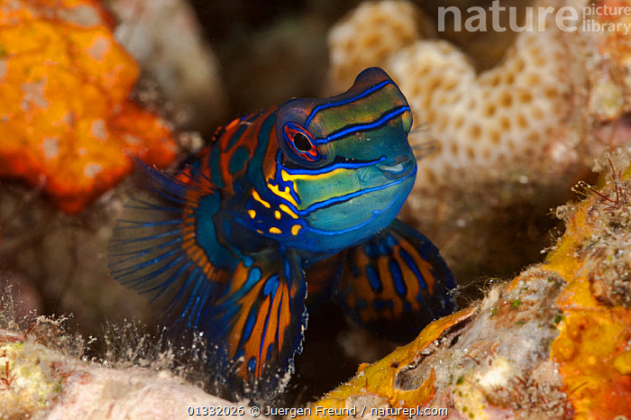 Mandarinfish (Synchiropus splendidus) on coral rubble. Lembeh Strait, North Sulawesi, Indonesia.  ,  BLUE,COASTAL WATERS,COLOURFUL,CORAL TRIANGLE,CORAL REEFS,DRAGONETS,FACES,FISH,HEADS,INDO PACIFIC,MANDARIN FISH,MARINE,ORANGE,OSTEICHTHYES,PATTERNS,PORTRAITS,SOUTH EAST ASIA,TROPICAL,UNDERWATER,VERTEBRATES,,SOUTH-EAST-ASIA,Asia  ,  Jurgen Freund