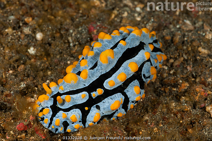 Nudibranch (Phyllidia varicosa) on the sandy sea bed. Lembeh Strait, North Sulawesi, Indonesia.  ,  BLACK,COASTAL WATERS,COLOURFUL,CORAL TRIANGLE,CORAL REEFS,GASTROPODS,INDO PACIFIC,INVERTEBRATES,MARINE,MOLLUSCS,NUDIBRANCHS,SOUTH EAST ASIA,TROPICAL,UNDERWATER,WHITE,,YELLOW,SOUTH-EAST-ASIA,Asia  ,  Jurgen Freund
