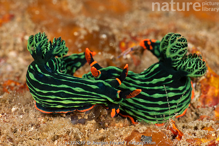 Brightly coloured Nudibranchs (Nembrotha kubaryana) on the sea bed. Lembeh Strait, North Sulawesi, Indonesia  ,  BLACK, COASTAL-WATERS, COLOURFUL, coral triangle, CORAL-REEFS, frills, fronds, GASTROPODS, gills, GREEN, INDO-PACIFIC, INVERTEBRATES, MARINE, MOLLUSCS, NUDIBRANCHS, ORANGE, SOUTH-EAST-ASIA, TROPICAL, two, UNDERWATER, WWF,Asia  ,  Jurgen Freund