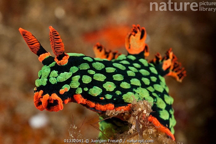 Brightly coloured Nudibranch (Nembrotha kubaryana) perched on a piece of coral. Lembeh Strait, North Sulawesi, Indonesia  ,  BLACK, COASTAL-WATERS, COLOURFUL, coral triangle, CORAL-REEFS, frills, fronds, GASTROPODS, gills, GREEN, INDO-PACIFIC, INVERTEBRATES, MARINE, MOLLUSCS, NUDIBRANCHS, ORANGE, PORTRAITS, SOUTH-EAST-ASIA, STRETCHING, TROPICAL, UNDERWATER, WWF,Asia  ,  Jurgen Freund