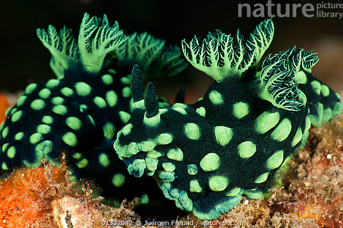 Nudibranchs (Nembrotha cristata). Lembeh Strait, North Sulawesi, Indonesia.  ,  BLACK,COASTAL WATERS,CORAL TRIANGLE,CORAL REEFS,FRILLS,FRONDS,GASTROPODS,GILLS,GREEN,INDO PACIFIC,INVERTEBRATES,MARINE,MOLLUSCS,NUDIBRANCHS,SOUTH EAST ASIA,SPOTS,TROPICAL,TWO,UNDERWATER,,Asia  ,  Jurgen Freund