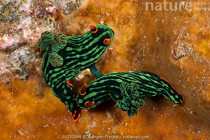 Nudibranchs (Nembrotha kubaryana) mating.  Lembeh Strait, North Sulawesi, Indonesia  ,  BLACK, COASTAL-WATERS, COLOURFUL, COPULATION, coral triangle, CORAL-REEFS, frills, fronds, GASTROPODS, gills, GREEN, hermaphrodite, hermaphrodites, INDO-PACIFIC, INVERTEBRATES, MARINE, MATING-BEHAVIOUR, MOLLUSCS, NUDIBRANCHS, ORANGE, SOUTH-EAST-ASIA, TROPICAL, UNDERWATER, WWF,Reproduction,Asia  ,  Jurgen Freund
