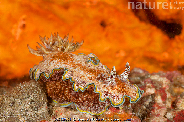 Nudibranch (Glossodoris cincta). Lembeh Strait, North Sulawesi, Indonesia.  ,  CAMOUFLAGE,COASTAL WATERS,CORAL TRIANGLE,CORAL REEFS,CRAWLING,FRILLS,FRONDS,GASTROPODS,GILLS,INDO PACIFIC,INVERTEBRATES,MARINE,MOLLUSCS,NUDIBRANCHS,PORTRAITS,SOUTH EAST ASIA,TROPICAL,UNDERWATER,,SOUTH-EAST-ASIA,Asia  ,  Jurgen Freund