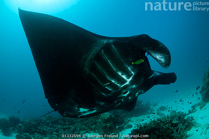 Giant manta ray (Manta birostris) at a cleaning station. North Raja Ampat, West Papua, Indonesia., CHONDRICHTHYES,CLEANER,CLEANING,COASTAL WATERS,CORAL TRIANGLE,CORAL REEFS,FISH,GROOMING,INDONESIA,INDO PACIFIC,IRIAN JAYA,MARINE,RAYS,SOUTH EAST ASIA,SWIMMING,SYMBIOSIS,TROPICAL,UNDERWATER,VERTEBRATES,WRASSE,,SOUTH-EAST-ASIA,Asia,NEW-GUINEA,Concepts,Partnership, Jurgen Freund