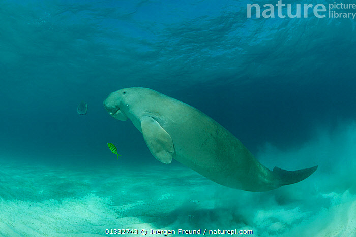 Dugong (Dugong dugon) in the seagrass bed shadowed by a trevally. Dimakya Island, Palawan, Philippines  ,  catalogue4G,COASTAL WATERS,comparison,contrasts,coral triangle,difference,Dimakya Island,DUGONGS,ENDANGERED,FISH,full length,INDO PACIFIC,LARGE,MAMMALS,MARINE,mixed species,Nobody,Palawan,Philippines,sand,SCALE,sea cow,seabed,seagrass,SEALIFE,SIZE,SMALL,SOUTH EAST ASIA,SWIMMING,trevally,TROPICAL,TURQUOISE,two animals,UNDERWATER,VERTEBRATES,WILDLIFE,WWF,YELLOW,SOUTH-EAST-ASIA,Asia  ,  Jurgen Freund