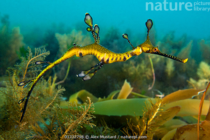 A juvenile Weedy Seadragon (Phyllopteryx taeniolatus) in its habitat. Flinders Jetty, Melbourne, Victoria, Australia, March., animal theme,AUSTRALASIA,AUSTRALIA,BEHAVIOUR,bright colour,CAMOUFLAGE,catalogue4,close up,FISH,Flinders Jetty,full length,HABITAT,MARINE,Melbourne,Mimic,Nobody,on the move,one animal,OSTEICHTHYES,PACIFIC,PROFILE,quirky,seabed,SEAHORSES,SEALIFE,side view,south pacific ,SWIMMING,TROPICAL,UNDERWATER,VERTEBRATES,victoria,wierd,WILDLIFE,YELLOW,young animal, Alex Mustard