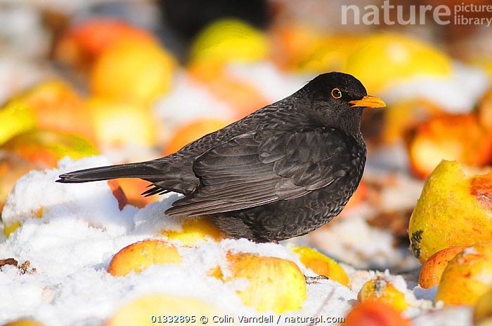 Male Blackbird (Turdus merula) feeding on windfall apples in snow. Dorset, UK, December., APPLE,APPLES,BIRD,BIRDS,BLACKBIRD,EUROPE,FRUIT,GARDENS,SNOW,SONGBIRDS,THRUSHES,TURDIDAE,UK,VERTEBRATES,WINTER,Plants,United Kingdom, Colin Varndell