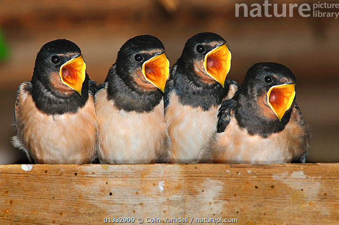 Fledgling Barn swallows (Hirundo rustica) calling for food in barn. Dorset, UK, August., BEHAVIOUR,BIRDS,CHICKS,EUROPE,FOUR,HUMOROUS,HUNGRY,JUVENILE,MOUTHS,SWALLOW,SWALLOWS,UK,VERTEBRATES,VOCALISATION,Concepts,United Kingdom, Colin Varndell