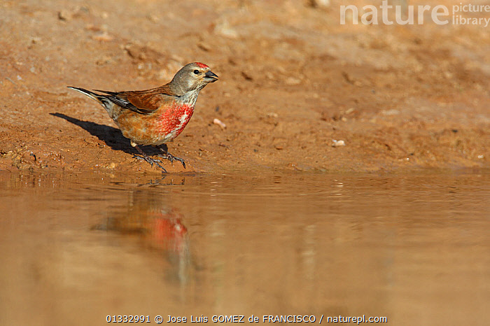 Linnet (Carduelis / Acanthis cannabina) male drinking at a watering place at the edge of a pool. Navarra, Spain, June  ,  BIRDS,DRINKING,EUROPE,FINCHES,MALES,PONDS,REFLECTIONS,SPAIN,STANDING,VERTEBRATES,WATER  ,  Jose Luis GOMEZ de FRANCISCO