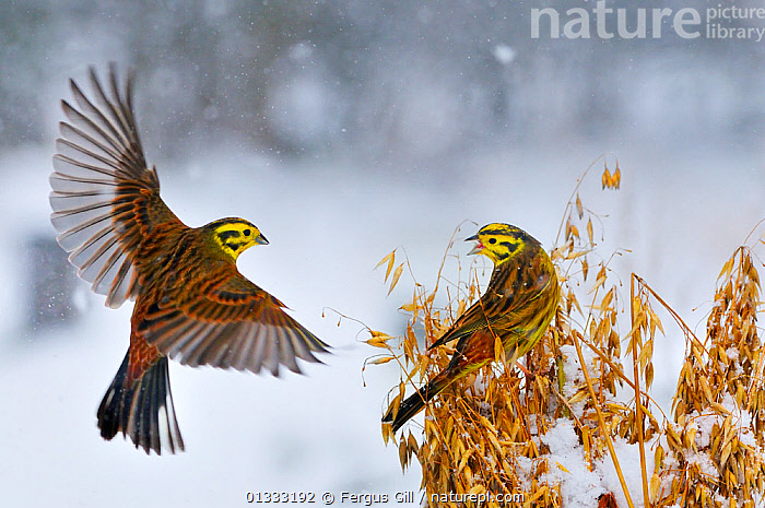 Yellowhammers (Emberiza citrinella) coming in to land of a sheaf of oats in winter. Perthshire, Scotland, February, animal marking,BIRDS,BUNTINGS,catalogue3,close up,CLOSE UPS,COMMUNICATION,CROPS,EUROPE,February,FLYING,FRIENDSHIP,LANDING,MALES,Nobody,outdoors,Perthshire,plant,rear view,SCOTLAND,sheaf,SNOW,songbirds,two animals,UK,VERTEBRATES,VOCALISATION,WILDLIFE,wings spread,wingspan,WINTER,YELLOW,Concepts,United Kingdom, Fergus Gill