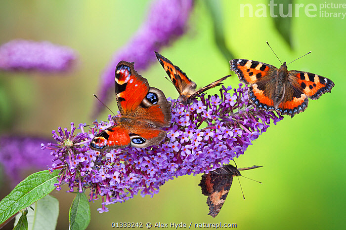 Peacock butterfly (Inachis io) and Small tortoiseshell butterflies (Aglais urticae) feeding on Buddleia flowers (Buddleia davidii), Derbyshire, UK, September., ARTHROPODS,BUTTERFLIES,COLOURFUL,EUROPE,FEEDING,FLOWERS,FOUR,GARDENS,INSECTS,INVERTEBRATES,LEPIDOPTERA,MIXED SPECIES,PURPLE,RED,UK,United Kingdom, Alex Hyde