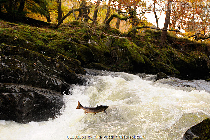 Atlantic salmon (Salmo salar) moving upriver to spawn. Lligwy River nr Betws y Coed, Gwynedd, North Wales, UK, November, ACTION,BEHAVIOUR,catalogue3,effort,EUROPE,FISH,JUMPING,LEAPING,Lligwy River,MARINE,MATING BEHAVIOUR,nature,Nobody,one animal,OSTEICHTHYES,outdoors,river,Riverbank,RIVERS,ROCKS,rural,SALMON,spawning,SWIMMING,TREES,UK,upriver,VERTEBRATES,WALES,WILDLIFE,WOODLANDS,PLANTS,United Kingdom, Mike Potts