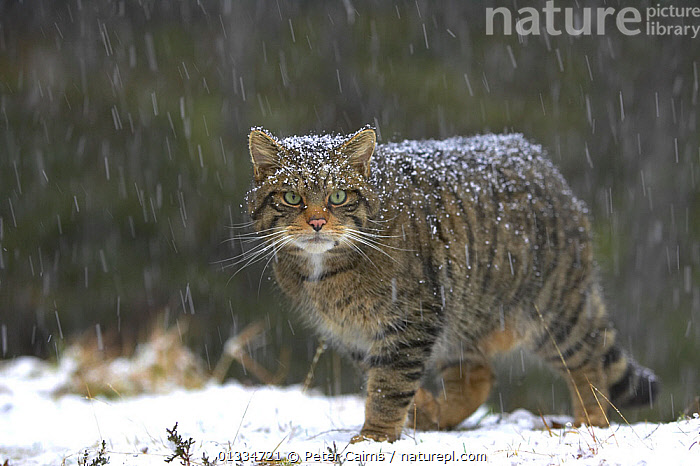Scottish wildcat (Felis sylvestris) in snow, Scotland, UK, January, Highly commended, Documentary series category, British Wildlife Photography Awards (BWPA) competition 2011, CARNIVORES,CATS,EUROPE,MAMMALS,PORTRAITS,SCOTLAND,SNOW,SNOWING,UK,VERTEBRATES,WILDCAT,United Kingdom, Peter Cairns