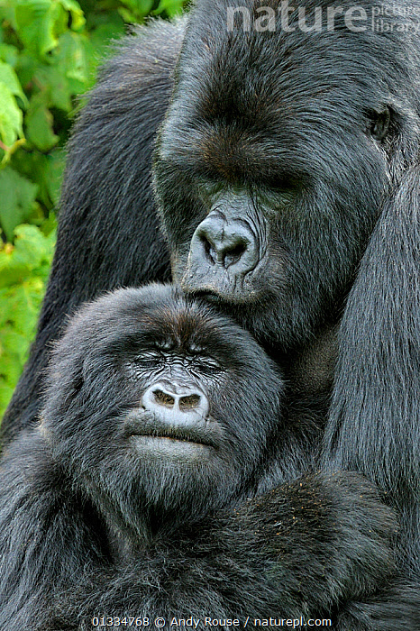 Mountain Gorilla (Gorilla beringei) male and female after mating. Rwanda, Africa, AFFECTIONATE,AFRICA,BABIES,COUPLE,PAIR,COURTSHIP,CENTRAL AFRICA,CUTE,ENDANGERED,EXPRESSIONS,FACES,GREAT APES,KISSING,MAMMALS,PARENTAL,PONGIDAE,PORTRAITS,PRIMATES,RWANDA,TWO,VERTEBRATES,VERTICAL, Andy Rouse