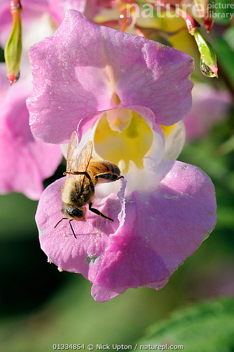 Honey bee (Apis mellifera) combing pollen from its wings after visiting a Himalayan balsam (Impatiens glandulifera) flower. Wiltshire pastureland, UK, October  ,  ARTHROPODS,BEES,BEHAVIOUR,CLEANING,ENGLAND,EUROPE,FEEDING,FLOWERS,FORAGING,GROOMING,HYMENOPTERA,INSECTS,INVASIVE,INVERTEBRATES,PINK,PLANTS,POLLEN,POLLINATION,UK,VERTICAL,United Kingdom ,honeybee,honeybees,,Dispersal,  ,  Nick Upton