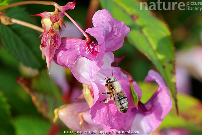 Honey bee (Apis mellifera) heavily dusted with pollen, visiting a Himalayan balsam (Impatiens glandulifera) flower. Wiltshire pastureland, UK, September  ,  ARTHROPODS,BEES,BEHAVIOUR,ENGLAND,EUROPE,FEEDING,FLOWERS,FORAGING,HYMENOPTERA,INSECTS,INVASIVE,INVERTEBRATES,PINK,PLANTS,POLLINATION,UK,United Kingdom ,honeybee,honeybees,,Dispersal,  ,  Nick Upton
