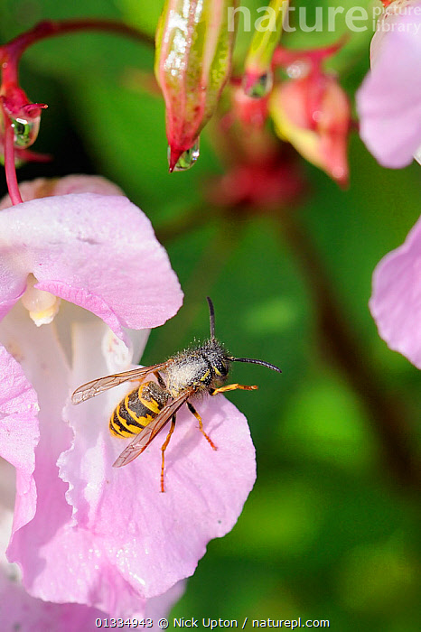 Common wasp (Vespula vulgaris) heavily dusted with pollen, about to fly from Himalayan balsam (Impatiens glandulifera) flower. Wiltshire pastureland, UK, September  ,  BEHAVIOUR,ENGLAND,EUROPE,FEEDING,FLOWERS,FORAGING,HYMENOPTERA,INSECTS,INVERTEBRATES,PINK,PLANTS,POLLEN,POLLINATION,PORTRAITS,UK,VERTICAL,VESPIDAE,WASPS,United Kingdom,,Dispersal,  ,  Nick Upton